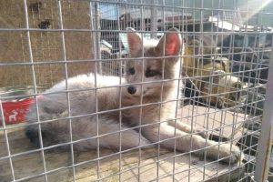 В Киеве на территории предприятия нашли необычного лисенка