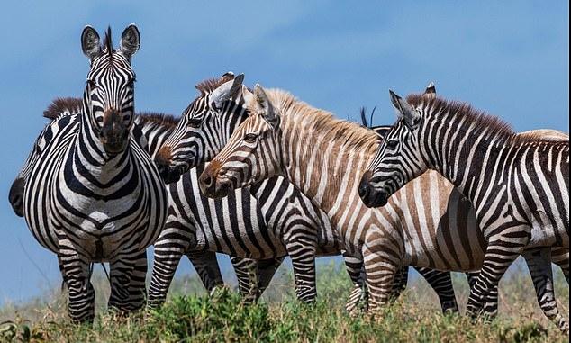В парке Серенгети впервые сфотографировали зебру-блондинку