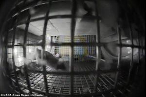 NASA показало, как мыши переносят невесомость