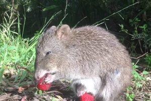 Малыш потору закусывает клубникой из сумки матери в парке Австралии