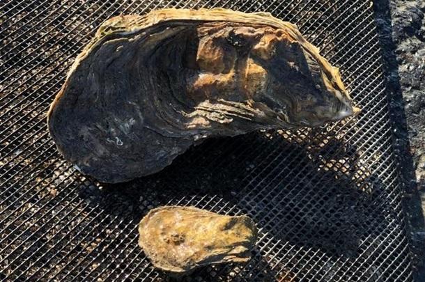 Во Франции нашли устрицу весом 1,3 кг.Вокруг Света. Украина