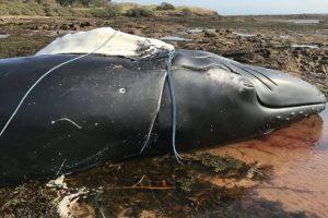Горбатый кит утонул, запутавшись в веревке