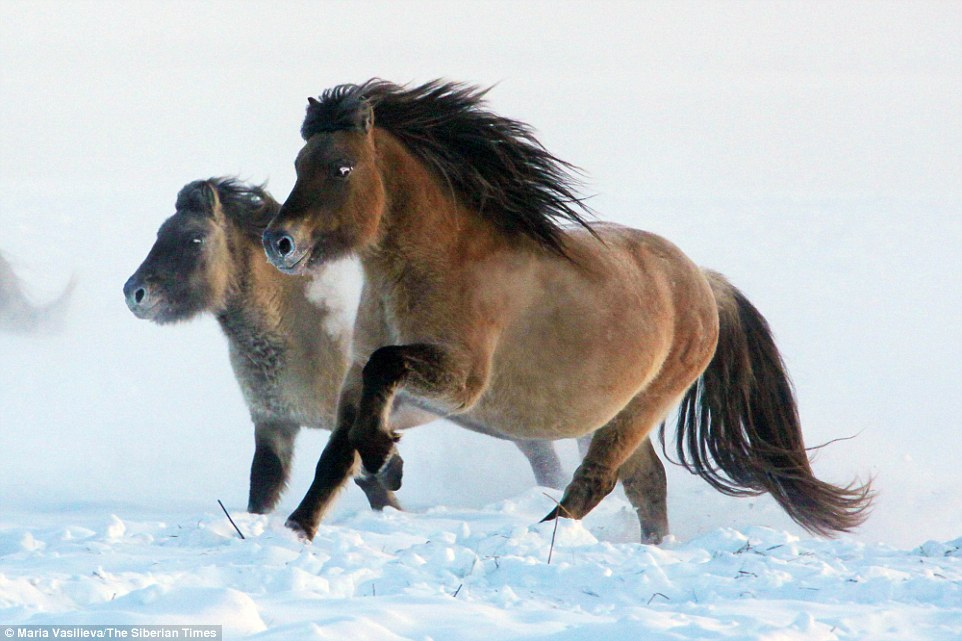 Южнокорейские генетики клонируют вымершую ленскую лошадь