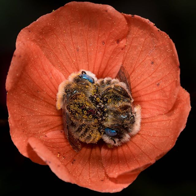 Фотограф нашел двух пчел, уснувших в одном цветке мака