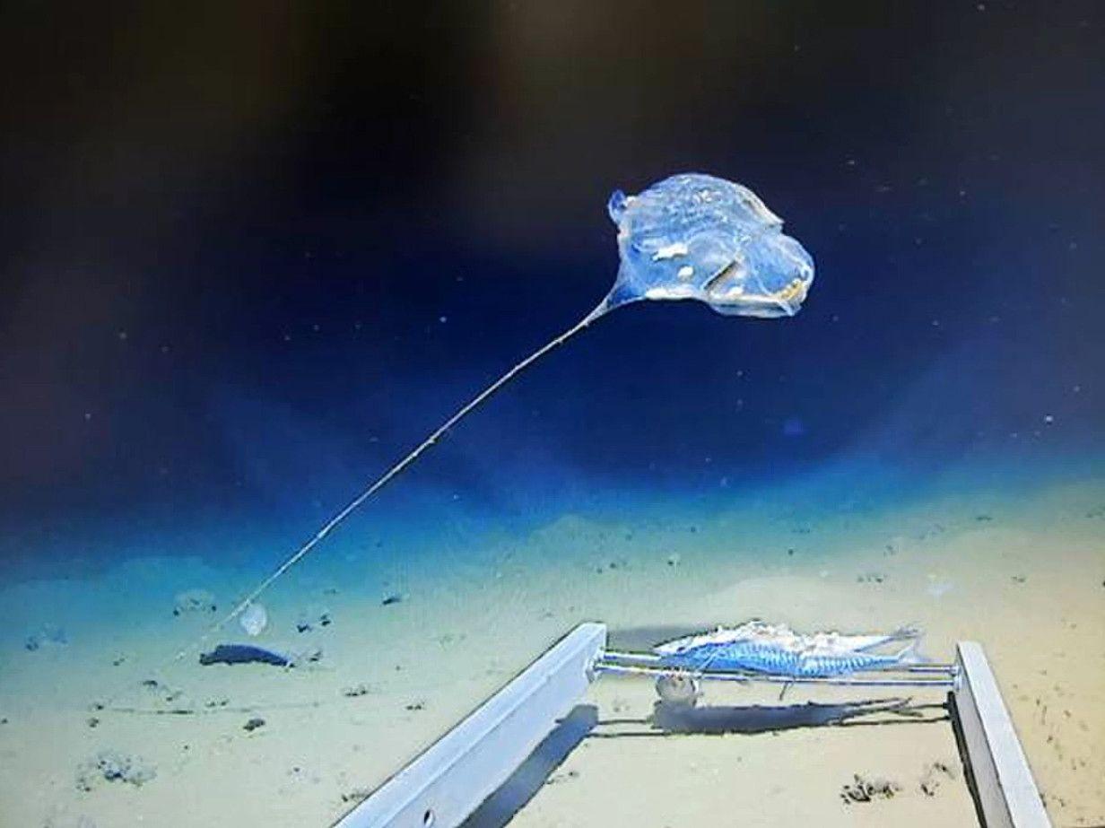 Океанологи увидели в Зондском желобе существо-воздушный шар.Вокруг Света. Украина