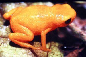 В лесах Бразилии нашли лягушек, которые светятся