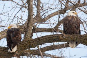 Мама и два папы: в США нашли необычную семью орлов
