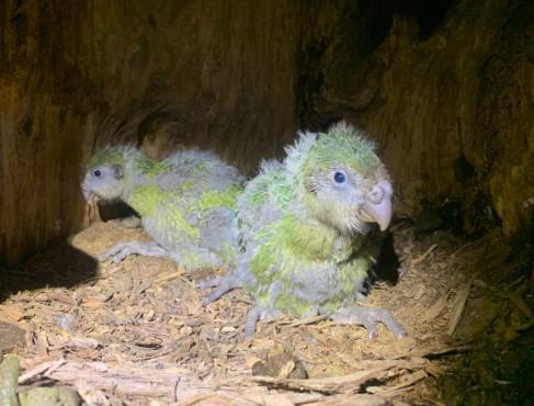 Самые толстые попугаи в мире спасли свой вид от вымирания