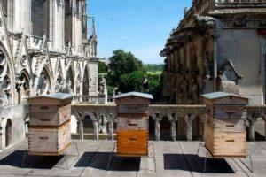 Пчелы из Собора Парижской Богоматери чудом пережили пожар
