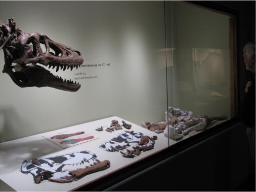 В США продают уникальный скелет малыша Ти-Рекса