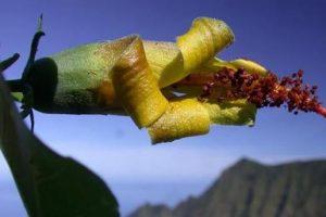 Дрон случайно нашел цветок, который считался исчезнувшим (видео)
