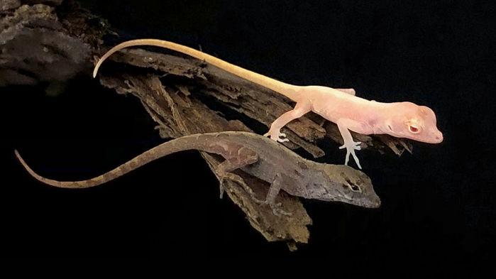 В США вывели первую в мире генномодифицированную ящерицу.Вокруг Света. Украина