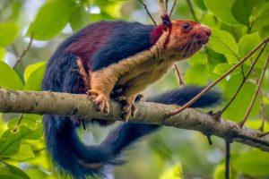 Фотограф-натуралист увидел в Индии разноцветную белку