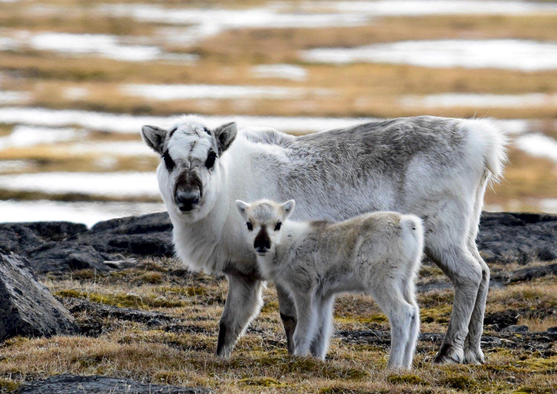 Северные олени в Норвегии перешли на морскую капусту