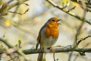 Почему птицы весной поют?