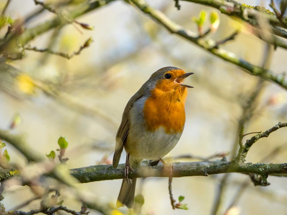 Почему птицы весной поют?.Вокруг Света. Украина