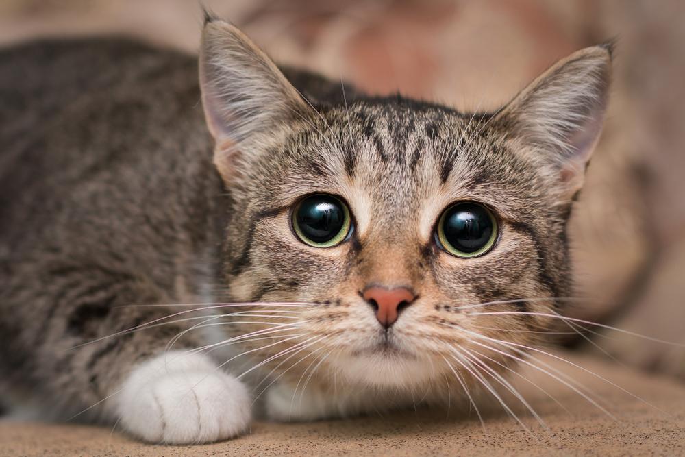 Американские ученые отказались от опытов на кошках