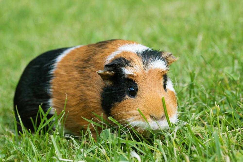 В Перу обнаружили 100 морских свинок, принесенных в жерву инками