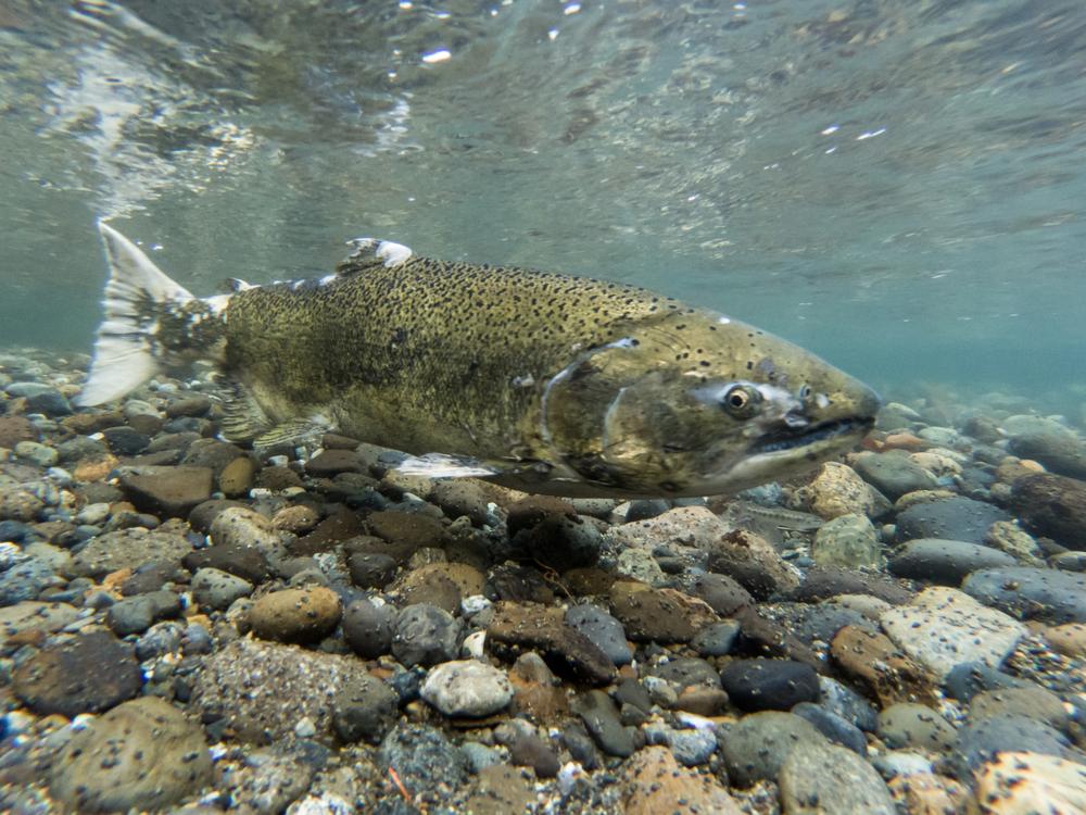 Канада будет разводить трансгенных лососей