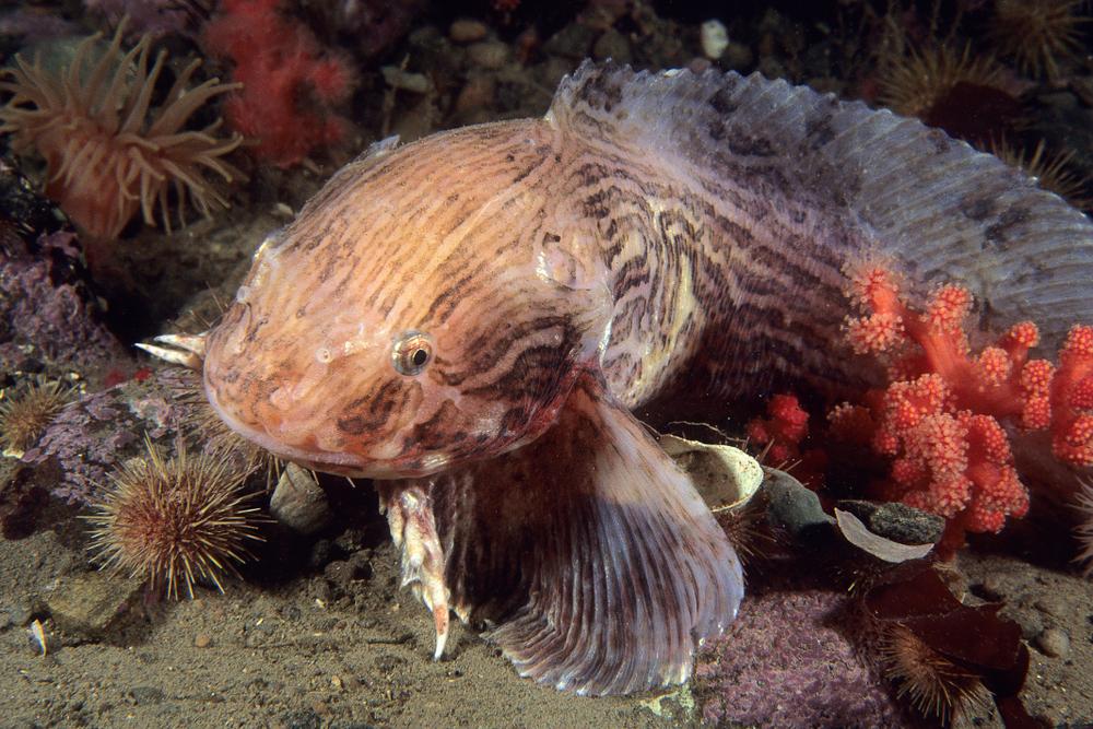 Мягкие кости и открытый череп: как глубоководные рыбы приспособились к давлению.Вокруг Света. Украина