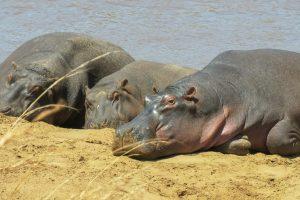 В Эфиопии массово гибнут бегемоты, и никто не знает причину