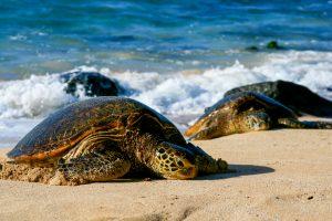 Исчезающая морская черепаха приплыла откладывать яйца... на взлетно-посадочную полосу