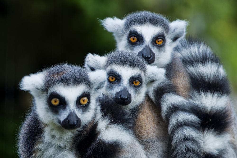 Мадагаскар: остров лемуров может остаться без лемуров.Вокруг Света. Украина