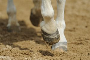 Почему у лошадей один палец, а не три