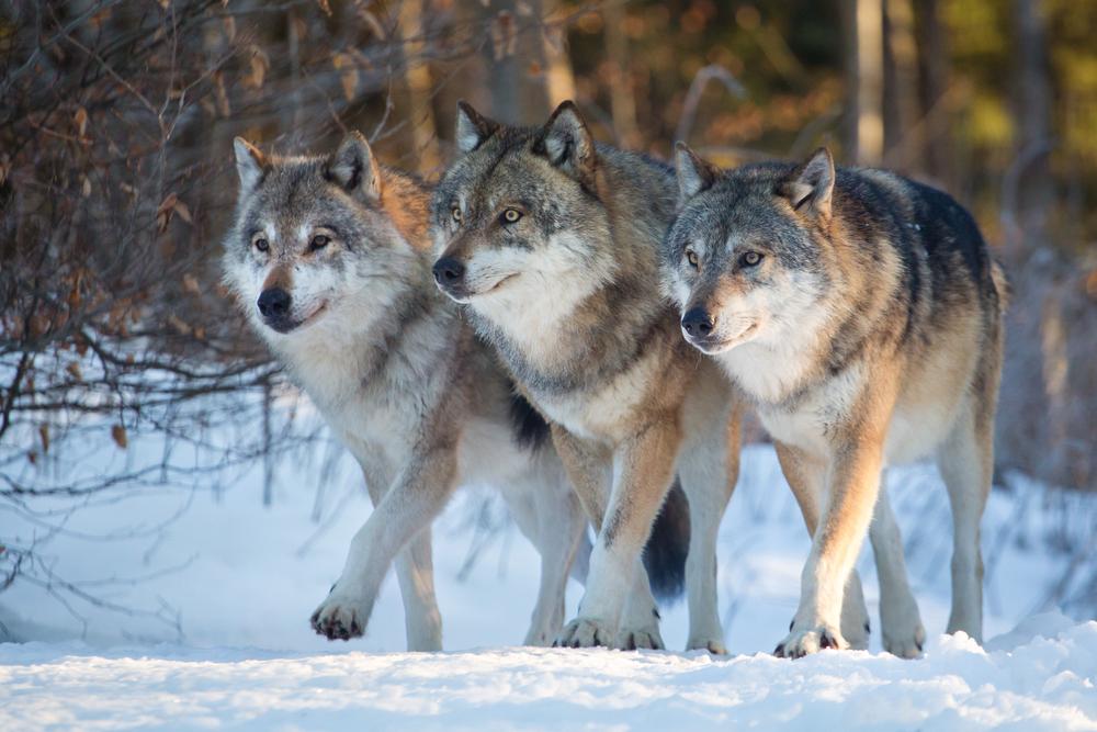 В Нидерланды спустя 140 лет вернулись волки