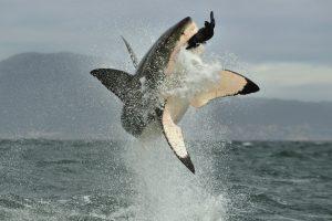 Океанологи подсмотрели, как белые акулы охотятся в густых зарослях водорослей