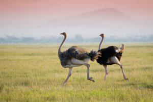 Генетики объяснили, как страусы разучились летать