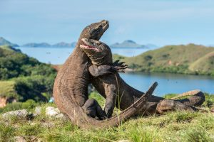Индонезийский остров Комодо хотят закрыть для туристов