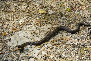 Перед праздничными пикниками серпентологи попросили не убивать змей
