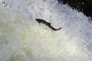 В Шотландии не досчитались дикого лосося