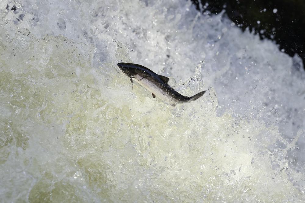 В Шотландии не досчитались дикого лосося.Вокруг Света. Украина