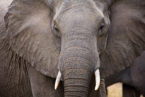 В Южной Африке браконьера убил слон и съел лев