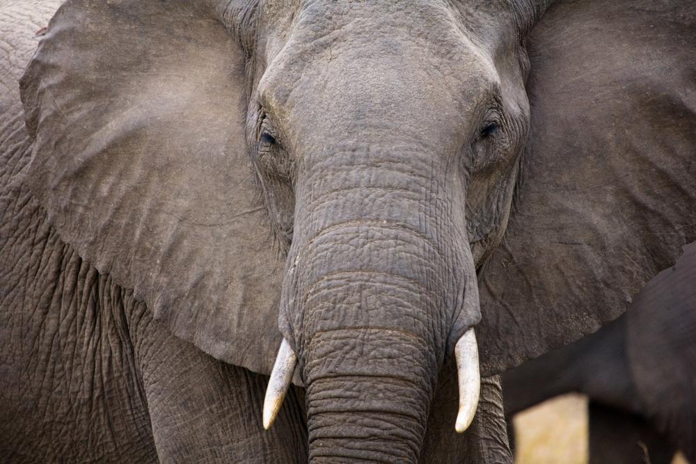 В Южной Африке браконьера убил слон и съел лев.Вокруг Света. Украина