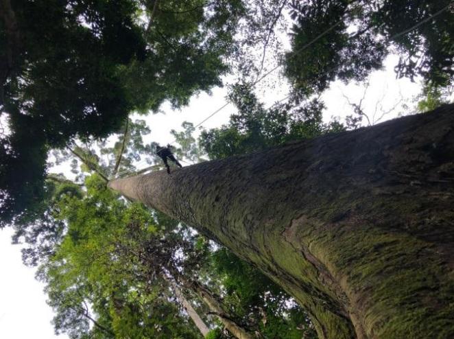 Ученые нашли высочайшее  тропическое дерево в мире