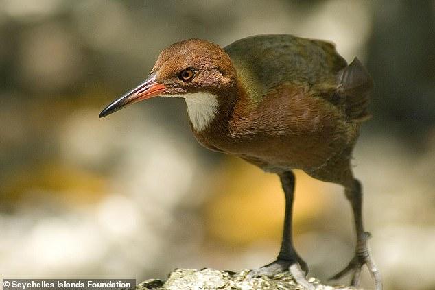 Бескрылая птица, вымершая на Сейшелах,