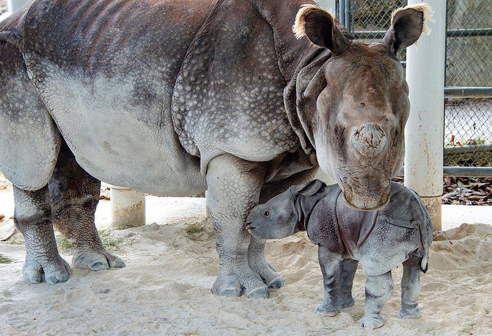 В США впервые в мире после ЭКО родился исчезающий  носорог.Вокруг Света. Украина