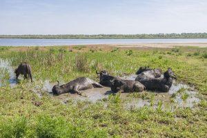 В заповедник Одессы завезли буйволов — архитекторов природы