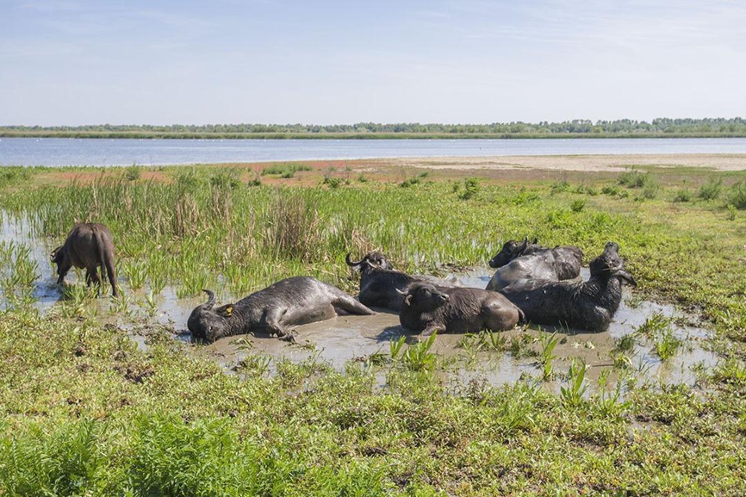 В заповедник Одессы завезли буйволов — архитекторов природы.Вокруг Света. Украина