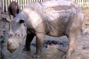 В Малайзии умер последний самец суматранского носорога