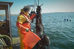 Мидии борются с загрязнением Балтийского моря