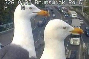 В Лондоне чайки заблокировали камеры наблюдения над дорогами
