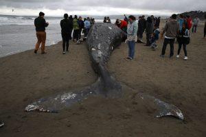 В США на Западное побережье морем выбросило 53 кита