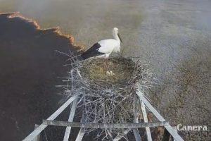 В России аист остался беречь гнездо во время пожара
