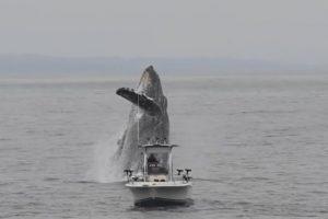 В Калифорнии горбатый кит едва не перевернул лодку