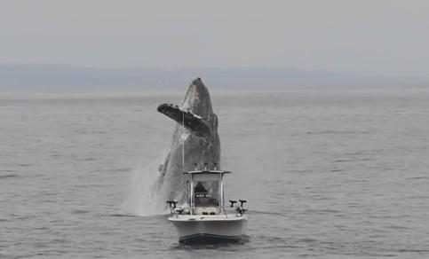 В Калифорнии горбатый кит едва не перевернул лодку.Вокруг Света. Украина
