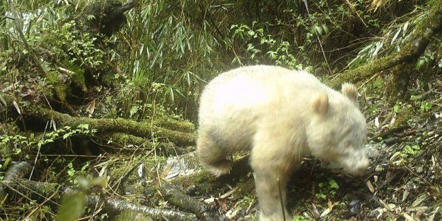 В Китае впервые заметили панду-альбиноса